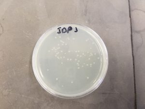Bacterial colonies after selection against ampicillin. The plasmid DNA in these cells will be sequenced to see if the desired mutation was created.