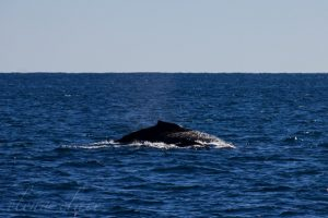 A Humpback whale and her calf seen while on a boat tour in Ningaloo.