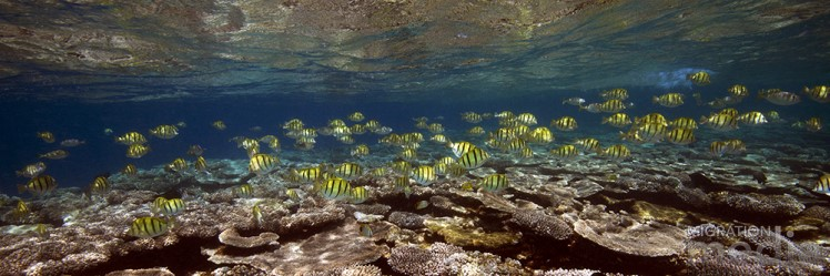 Striped convicts, swimming in the Nigaloo Reef.